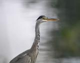 Blauwe Reiger / Grey Heron (de Starrevaart)