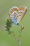 Heideblauwtje(Boetelerveld - Raalte)