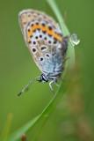 Heideblauwtje (Boetelerveld - Raalte)