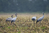 Kraanvogels / Common Crane