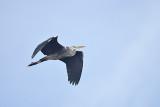 Blauwe Reiger / Grey Heron (Kristalbad / Hengelo)