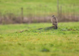 Buizerd / Common Buzzard (Winterberg)