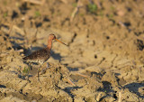grutto__blacktailed_godwit