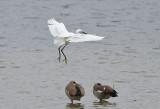 Kleine Zilverreiger / Little Egret (Oelemars)