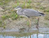 Blauwe Reiger / Grey Heron (de Oelemars)