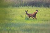 Edelhert / Red deer