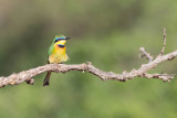 Little Bee-eater, National Park, Yabello