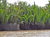 Lush vegetation - seen while we were in a sampan exploring canals  - an island near My Tho, Mekong Delta, Vietnam