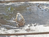 A fist-size frog heading for the the pool at the Sambo Village Hotel, Kompong Thom Province, Cambodia