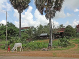 A boy and his cow in a rural area - while we were traveling in SUVs on a dirt road to Siem Reap, Cambodia