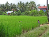A rice field at the entrance to a small village - near the Roluos Group of temples and monuments