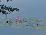 Wate lillies -  Angkor Thom, Siem Reap Province, Cambodia