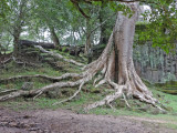 A banyon tree at the north gate entrance to Angkor Thom - on our way to Preah Khan - Siem Reap Province, Cambodia