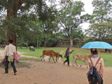 Cows being herded on a road near the East Mebon Temple - Angkor, Siem Reap Province, Cambodia
