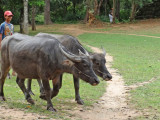 Water buffalo being herded on a road near the East Mebon Temple - Angkor, Siem Reap Province, Cambodia
