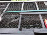 Crocodiles in a crate at a crocodile farm on Tonle Sap Lake, Siem Reap Province, Cambodia