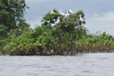 A nest colony of Asian Openbill Storks on an island in the flooded forest/wetlands next to Tonle Sap Lake