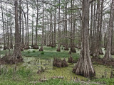 Swamp next to a dirt back road in southwestern Louisiana