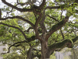 Tree in the Garden District of New Orleans