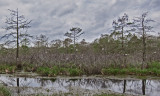 Hundreds of nesting egrets next to a swamp off a dirt back road in southwestern Louisiana