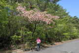 Judy under cherry blossoms at the Yamanashi Prefecture Fuji Visitor Center