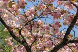 Cherry blossoms at the Yamanashi Prefecture Fuji Visitor Center