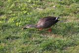 A duck near Lake Suwa in Suwa-shi