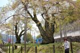 Judy near two huge cherry trees (Shokawa-Zakura) each over 400 years old seen while traveling from Takayama to Kanazawa