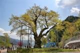 One of two huge cherry trees (Shokawa-Zakura) over 400 years old  seen while traveling from Takayama to Kanazawa