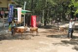 Deer near the path to Kasuga Taisha (a Shinto shrine) in Nara Park in Nara. We saw a newborn celebration ceremony at the Shrine.