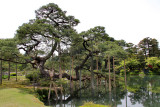Close-up of black pine tree (Karasaki Matsu) with pole-supported branches - Kasumiga-ike Pond - Kenroku-en Garden - Kanazawa