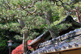 Two trees growing out of a house or its garden in the Naga-machi Samurai District in Kanazawa