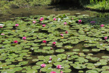 Water lillies on a pond at the garden of the Heian-jingu Shrine in Kyoto