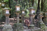 A deer near the stone lanterns on the path to Kasuga Taisha (a Shinto shrine) in Nara Park in Nara
