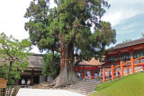 A thousand year old Japanese cedar (Honsha-osugi) at Kasuga Taisha (a Shinto shrine) in Nara Park in Nara