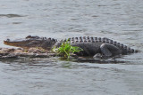 Alligator in Lake Martin in southwestern Louisiana - as seen from our boat