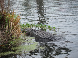 Alligator mostly under water in Lake Martin in southwestern Louisiana - as seen from our boat