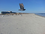 A pigeon flying above the beach (as seen from the fishing pier) - East Coast of Tybee Island