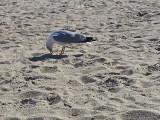 Seagull - East Coast of Tybee Island