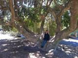 Judy on a picturesque Lord's Holly (Ilex Rotunda) tree at the Coastal Georgia Botanical Gardens - Savannah