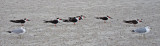 Birds on the beach - East Coast of Tybee Island