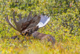 The Moose of Brainard Lake, Colorado