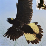 Yellow-tailed Black-Cockatoo painting by Phillip Layzell