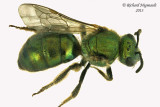 Family Sweat Bees