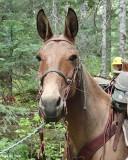 Tom's Mule