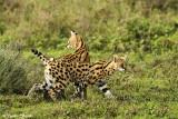_48D0268pb SERVAL NDUTU TANZANIA