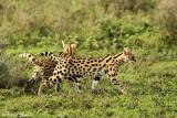 _48D0269cpb SERVAL NDUTU TANZANIA