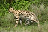_48D0314pb.jpg  SERVAL NDUTU TANZANIA