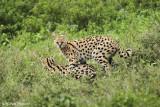 _48D0327pb SERVAL NDUTU TANZANIA