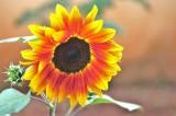 Helianthus / sunflower.